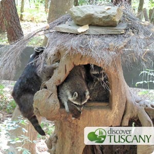 Whole family of raccoons in one tree trunk