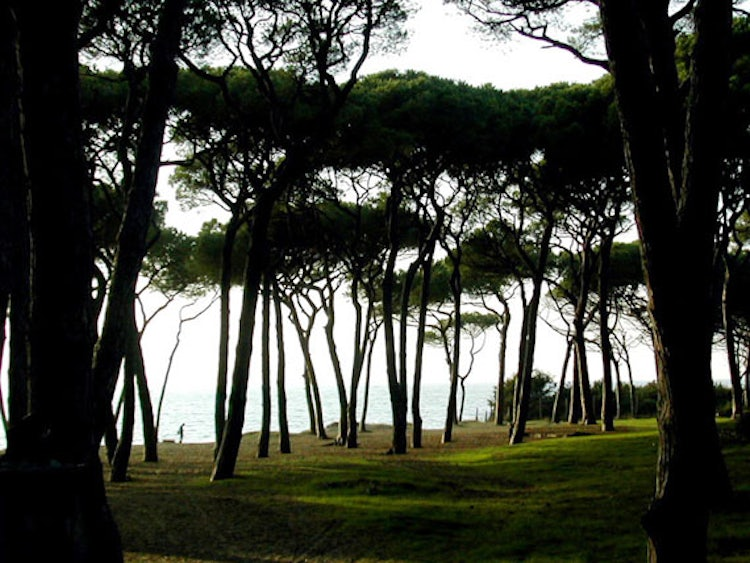 Pine tree forest along coastline for shade and relax