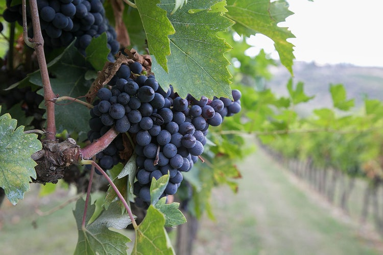 Top 5 Fall Activities:  Grape Harvest