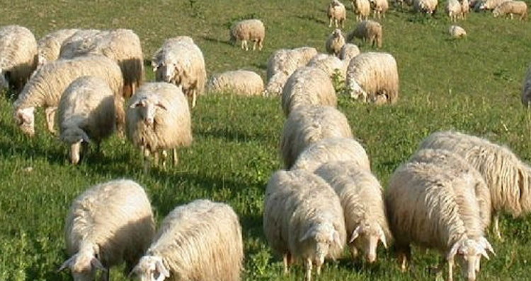 Sheep in the Tuscan pastures