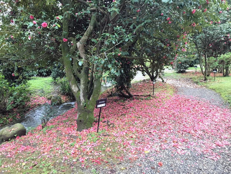 The camelia flowers in bloom in early spring