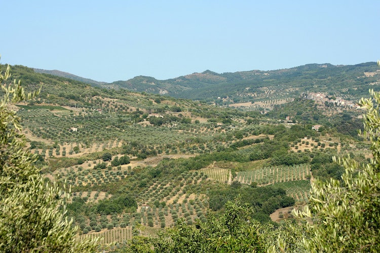 Lanscape with olive groves near Montenero and Seggiano in southern Tuscany, Maremma