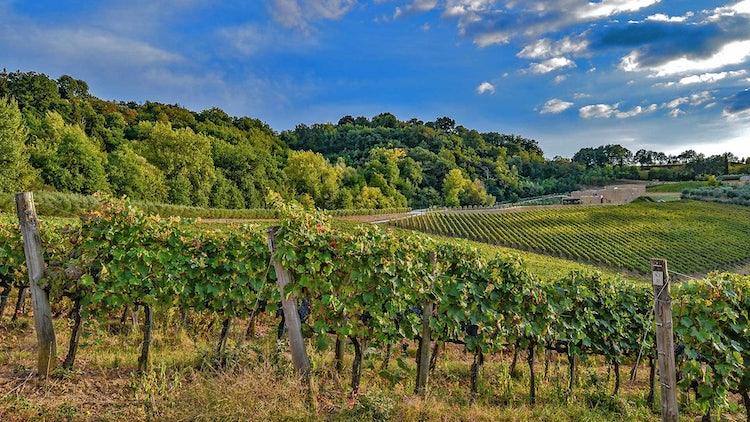 Vineyards of Icario in Montepulciano