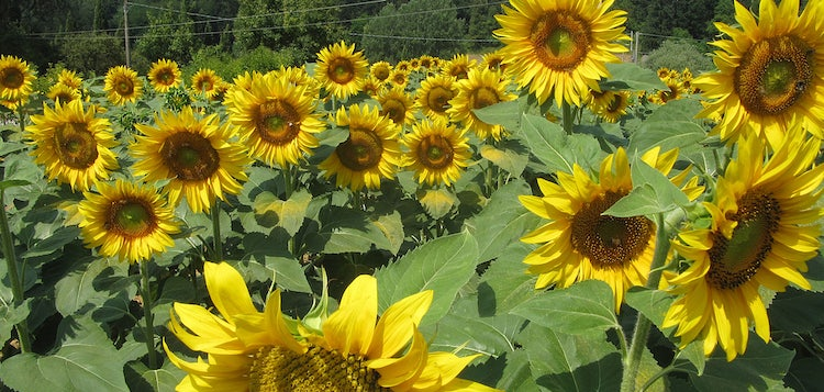 Sunflowers in Mugello