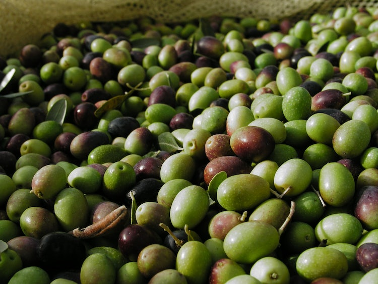 Recently harvested olives that come in a classic net traditionally aimed to harvest olives picked up by hand