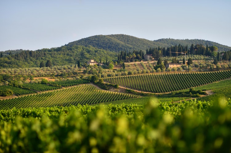 Viticcio vineyards surround the estate