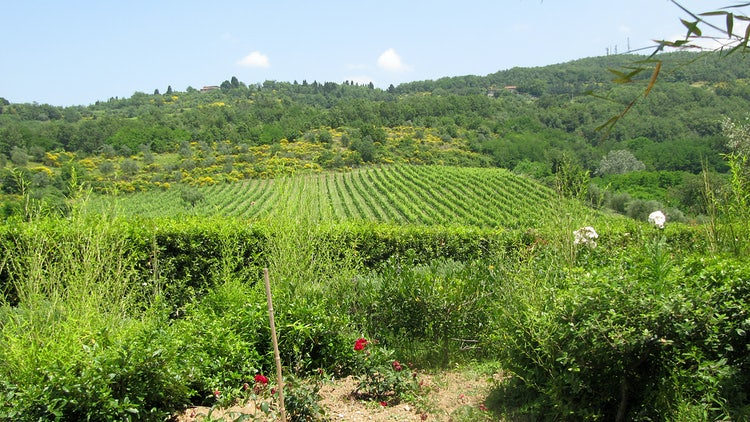 Vineyards in Mugello