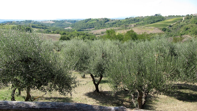 Olive groves at Agriturismo Montalbino