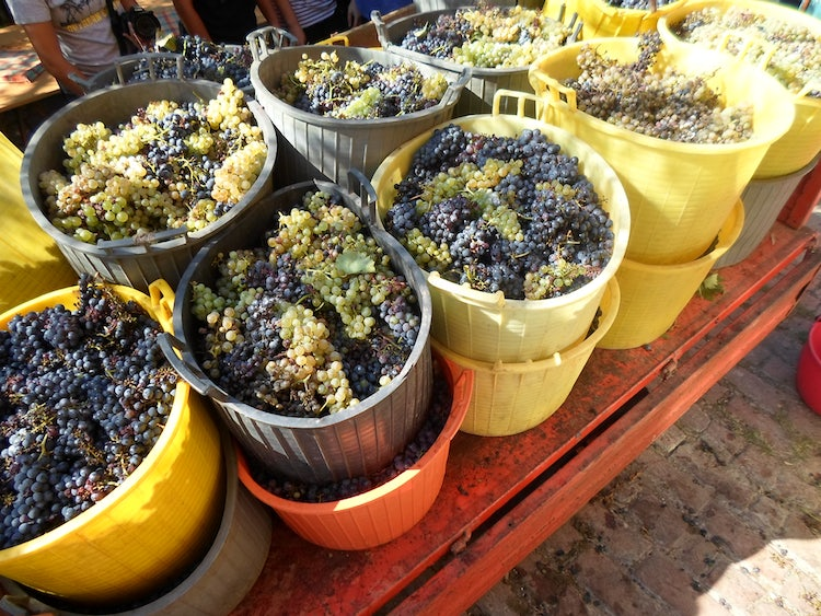 October Events:  Grape Harvest & the Vendemmia