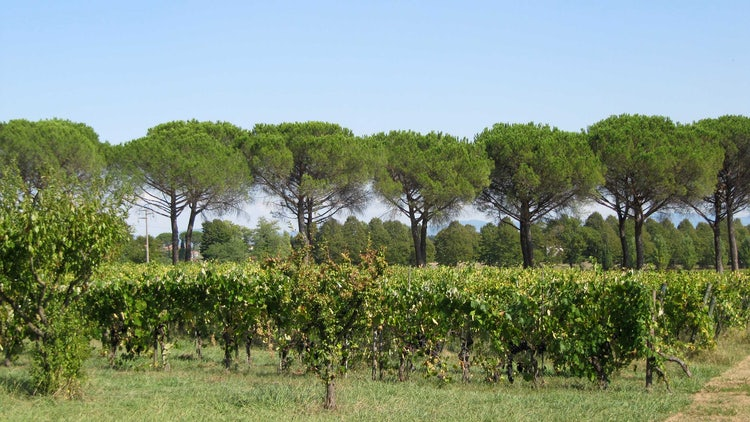 Pine trees & vineyards in Lucca & Montecarlo.