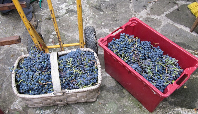 Baskets of grapes in Tuscany